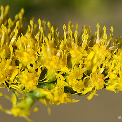Flowers: Solidago nemoralis. ~ By Arieh Tal. ~ Copyright © 2018 Arieh Tal. ~ http://botphoto.com/ ~ Arieh Tal - botphoto.com