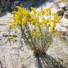 Plant form: Solidago nemoralis. ~ By Dawn Dentzer. ~ Copyright © 2020. ~ dawndentzer[at]gmail.com