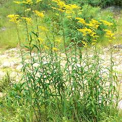 Plant form: Solidago odora. ~ By Arieh Tal. ~ Copyright © 2017 Arieh Tal. ~ http://botphoto.com/ ~ Arieh Tal - botphoto.com