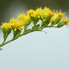 Flowers: Solidago patula. ~ By Arieh Tal. ~ Copyright © 2019 Arieh Tal. ~ www.nttlphoto.com ~ Arieh Tal - www.nttlphoto.com