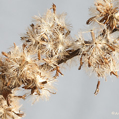 Fruits: Solidago patula. ~ By Arieh Tal. ~ Copyright © 2018 Arieh Tal. ~ http://botphoto.com/ ~ Arieh Tal - botphoto.com