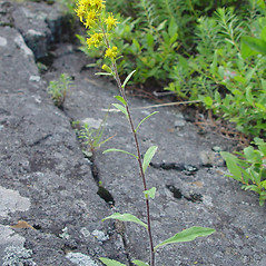 Plant form: Solidago puberula. ~ By Arthur Haines. ~ Copyright © 2020. ~ arthurhaines[at]wildblue.net