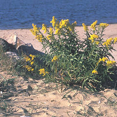Plant form: Solidago sempervirens. ~ By Frank Bramley. ~ Copyright © 2018 New England Wild Flower Society. ~ Image Request, images[at]newenglandwild.org