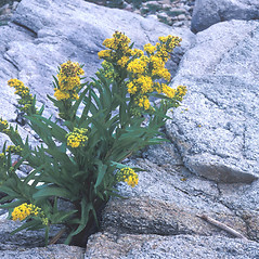 Plant form: Solidago sempervirens. ~ By Jean Baxter. ~ Copyright © 2018 New England Wild Flower Society. ~ Image Request, images[at]newenglandwild.org
