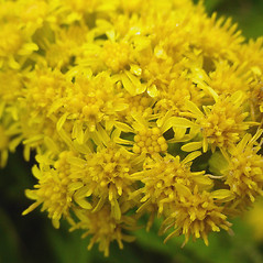 Flowers: Solidago sempervirens. ~ By Glen Mittelhauser. ~ Copyright © 2018 Glen Mittelhauser. ~ www.mainenaturalhistory.org