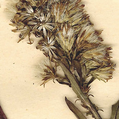 Fruits: Solidago simplex. ~ By CONN Herbarium. ~ Copyright © 2018 CONN Herbarium. ~ Requests for image use not currently accepted by copyright holder ~ U. of Connecticut Herbarium - bgbaseserver.eeb.uconn.edu/