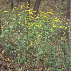 Plant form: Solidago ulmifolia. ~ By Arieh Tal. ~ Copyright © 2019 Arieh Tal. ~ http://botphoto.com/ ~ Arieh Tal - botphoto.com