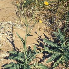 Plant form: Sonchus arvensis. ~ By Lawrence Newcomb. ~ Copyright © 2018 New England Wild Flower Society. ~ Image Request, images[at]newenglandwild.org