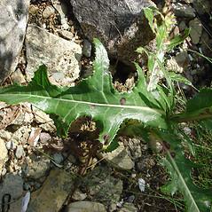 Leaves: Sonchus arvensis. ~ By Glen Mittelhauser. ~ Copyright © 2018 Glen Mittelhauser. ~ www.mainenaturalhistory.org