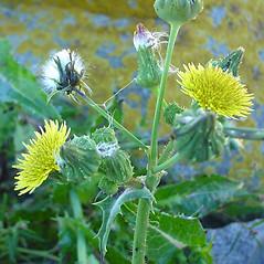 Flowers: Sonchus asper. ~ By Glen Mittelhauser. ~ Copyright © 2018 Glen Mittelhauser. ~ www.mainenaturalhistory.org