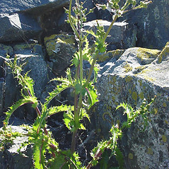 Plant form: Sonchus asper. ~ By Glen Mittelhauser. ~ Copyright © 2018 Glen Mittelhauser. ~ www.mainenaturalhistory.org