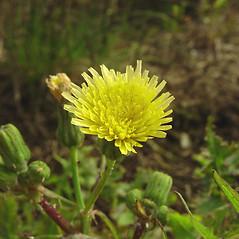 Flowers: Sonchus oleraceus. ~ By Glen Mittelhauser. ~ Copyright © 2018 Glen Mittelhauser. ~ www.mainenaturalhistory.org