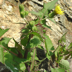 Plant form: Sonchus oleraceus. ~ By Glen Mittelhauser. ~ Copyright © 2020 Glen Mittelhauser. ~ www.mainenaturalhistory.org