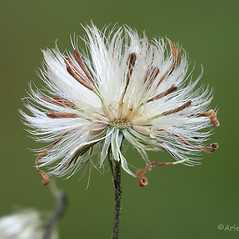 Fruits: Symphyotrichum boreale. ~ By Arieh Tal. ~ Copyright © 2018 Arieh Tal. ~ http://botphoto.com/ ~ Arieh Tal - botphoto.com