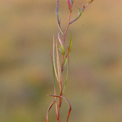 Plant form: Symphyotrichum boreale. ~ By Arthur Haines. ~ Copyright © 2019. ~ arthurhaines[at]wildblue.net
