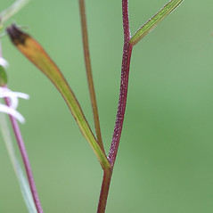 Stems: Symphyotrichum boreale. ~ By Arieh Tal. ~ Copyright © 2018 Arieh Tal. ~ http://botphoto.com/ ~ Arieh Tal - botphoto.com