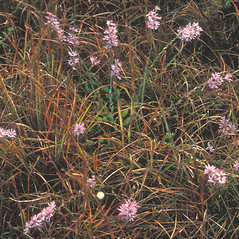 Plant form: Symphyotrichum concolor. ~ By Bruce Sorrie. ~ Copyright © 2019 New England Wild Flower Society. ~ Image Request, images[at]newenglandwild.org