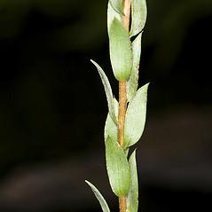 Leaves: Symphyotrichum concolor. ~ By John Gwaltney. ~ Copyright © 2019 John Gwaltney. ~ southeasternflora.com ~ Southeastern Flora - www.southeasternflora.com/