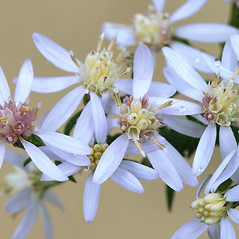 Flowers: Symphyotrichum cordifolium. ~ By Arieh Tal. ~ Copyright © 2020 Arieh Tal. ~ http://botphoto.com/ ~ Arieh Tal - botphoto.com