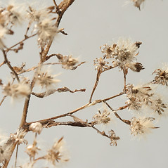 Fruits: Symphyotrichum cordifolium. ~ By Arieh Tal. ~ Copyright © 2020 Arieh Tal. ~ http://botphoto.com/ ~ Arieh Tal - botphoto.com