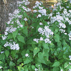 Plant form: Symphyotrichum cordifolium. ~ By Arieh Tal. ~ Copyright © 2020 Arieh Tal. ~ http://botphoto.com/ ~ Arieh Tal - botphoto.com