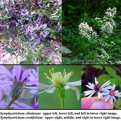 Comparison: Symphyotrichum cordifolium. ~ By Arthur Haines. ~ Copyright © 2019. ~ arthurhaines[at]wildblue.net