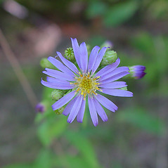 Flowers: Symphyotrichum laeve. ~ By Arthur Haines. ~ Copyright © 2018. ~ arthurhaines[at]wildblue.net