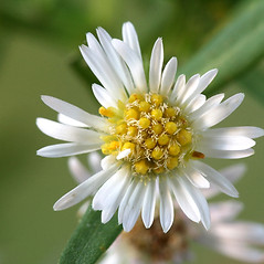 Flowers: Symphyotrichum lanceolatum. ~ By Arieh Tal. ~ Copyright © 2020 Arieh Tal. ~ http://botphoto.com/ ~ Arieh Tal - botphoto.com