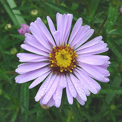 Flowers: Symphyotrichum novi-belgii. ~ By Glen Mittelhauser. ~ Copyright © 2017 Glen Mittelhauser. ~ www.mainenaturalhistory.org