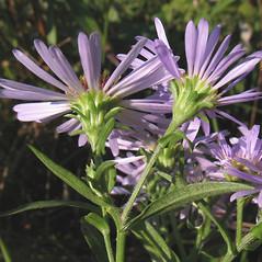 Flowers: Symphyotrichum novi-belgii. ~ By Marilee Lovit. ~ Copyright © 2017 Marilee Lovit. ~ lovitm[at]gmail.com