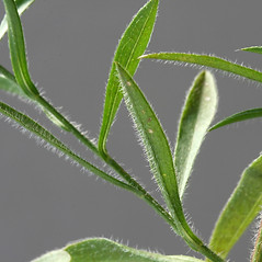 Leaves: Symphyotrichum pilosum. ~ By Arieh Tal. ~ Copyright © 2018 Arieh Tal. ~ http://botphoto.com/ ~ Arieh Tal - botphoto.com
