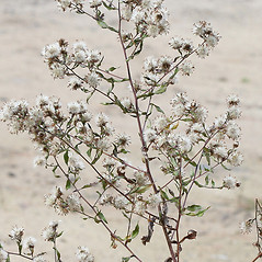 Fruits: Symphyotrichum puniceum. ~ By Arieh Tal. ~ Copyright © 2020 Arieh Tal. ~ http://botphoto.com/ ~ Arieh Tal - botphoto.com
