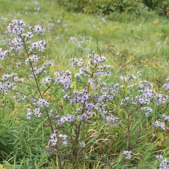 Plant form: Symphyotrichum puniceum. ~ By Arieh Tal. ~ Copyright © 2020 Arieh Tal. ~ http://botphoto.com/ ~ Arieh Tal - botphoto.com