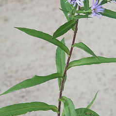 Leaves: Symphyotrichum puniceum. ~ By Arieh Tal. ~ Copyright © 2020 Arieh Tal. ~ http://botphoto.com/ ~ Arieh Tal - botphoto.com