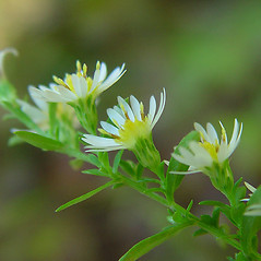 Flowers: Symphyotrichum racemosum. ~ By Arthur Haines. ~ Copyright © 2018. ~ arthurhaines[at]wildblue.net