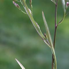 Leaves: Symphyotrichum subulatum. ~ By Arieh Tal. ~ Copyright © 2017 Arieh Tal. ~ http://botphoto.com/ ~ Arieh Tal - botphoto.com