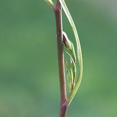 Stems: Symphyotrichum subulatum. ~ By Arieh Tal. ~ Copyright © 2017 Arieh Tal. ~ http://botphoto.com/ ~ Arieh Tal - botphoto.com