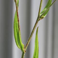 Stems: Symphyotrichum tradescantii. ~ By Arieh Tal. ~ Copyright © 2020 Arieh Tal. ~ http://botphoto.com/ ~ Arieh Tal - botphoto.com