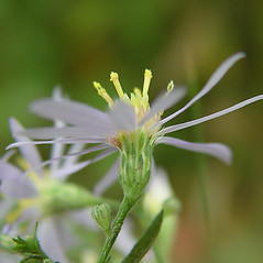 Flowers: Symphyotrichum undulatum. ~ By Arthur Haines. ~ Copyright © 2017. ~ arthurhaines[at]wildblue.net