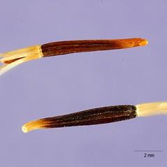 Fruits: Tagetes erecta. ~ By Tracey Slotta. ~  Public Domain. ~  ~ USDA-NRCS Plants Database - plants.usda.gov/java/