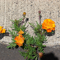 Plant form: Tagetes erecta. ~ By Kim Starr. ~ Copyright © 2019 CC BY 3.0. ~ starrimages[at]hear.org ~ Plants of Hawaii - www.hear.org/starr/images/?o=plants