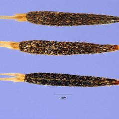 Fruits: Tagetes minuta. ~ By Steve Hurst. ~  Public Domain. ~  ~ USDA-NRCS Plants Database - plants.usda.gov/java/