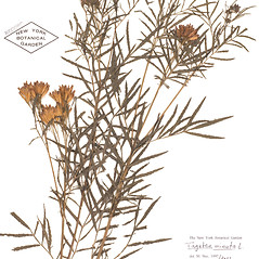 Plant form: Tagetes minuta. ~ By William and Linda Steere and the C.V. Starr Virtual Herbarium. ~ Copyright © 2018 William and Linda Steere and the C.V. Starr Virtual Herbarium. ~ Barbara Thiers, Director; bthiers[at]nybg.org ~ C.V. Starr Herbarium - NY Botanical Gardens