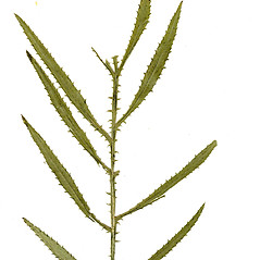Leaves: Tagetes minuta. ~ By CONN Herbarium. ~ Copyright © 2019 CONN Herbarium. ~ Requests for image use not currently accepted by copyright holder ~ U. of Connecticut Herbarium - bgbaseserver.eeb.uconn.edu/