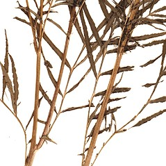 Stems: Tagetes minuta. ~ By William and Linda Steere and the C.V. Starr Virtual Herbarium. ~ Copyright © 2018 William and Linda Steere and the C.V. Starr Virtual Herbarium. ~ Barbara Thiers, Director; bthiers[at]nybg.org ~ C.V. Starr Herbarium - NY Botanical Gardens