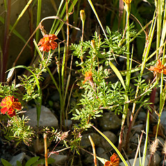 Plant form: Tagetes patula. ~ By Giuseppe Sardi. ~ Copyright © 2020 Giuseppe Sardi. ~ www.parcocurone.it/ambiente/flora/index.php ~ Acta Plantarum -  www.actaplantarum.org