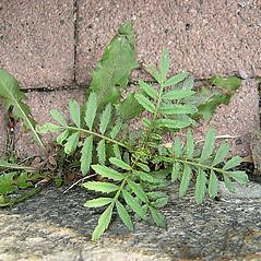 Leaves: Tagetes patula. ~ By Franco Giordana. ~ Copyright © 2019 Franco Giordana. ~ francogrd[at]gmail.com ~ Acta Plantarum -  www.actaplantarum.org