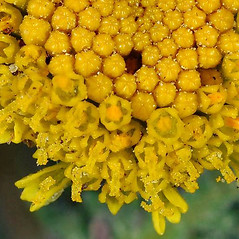 Flowers: Tanacetum bipinnatum. ~ By Gerry Carr. ~ Copyright © 2018 Gerry Carr. ~ gdcarr[at]comcast.net ~ U. of Washington - WTU - Herbarium - biology.burke.washington.edu/herbarium/imagecollection.php