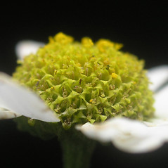 Flowers: Tanacetum parthenium. ~ By Bruce Patterson. ~ Copyright © 2019 Bruce Patterson. ~ foxpatterson[at]comcast.net