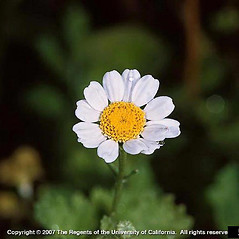 Flowers: Tanacetum parthenium. ~ By Joseph DiTomaso. ~ Copyright © 2018 CC BY-NC 3.0. ~  ~ Bugwood - www.bugwood.org/
